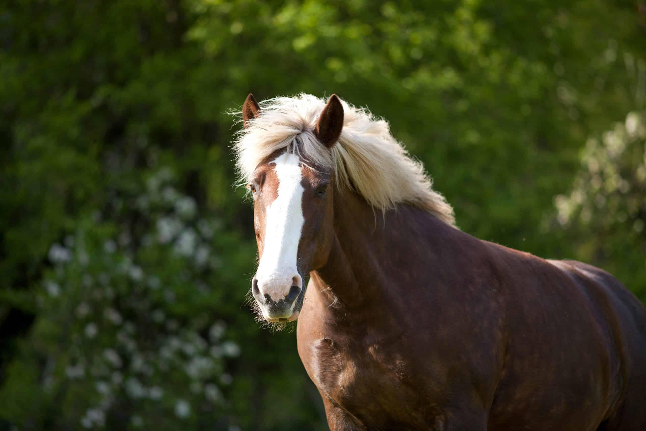 black forest horse unique coat color