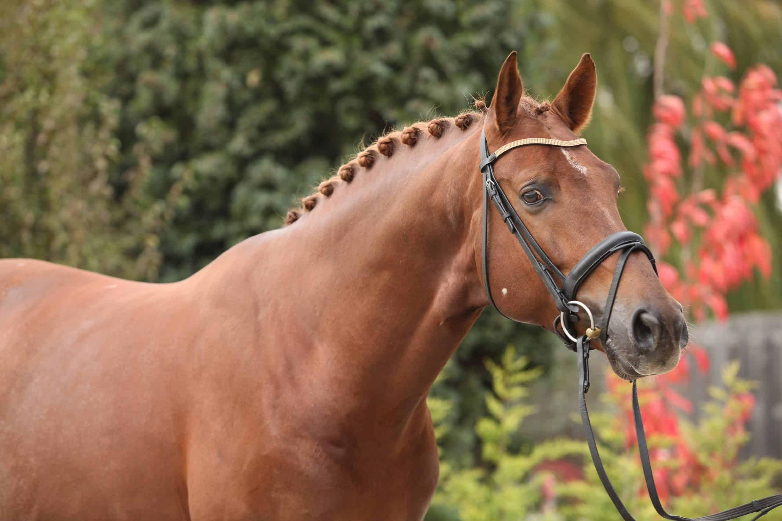 dutch warmblood jumping horse breeds list