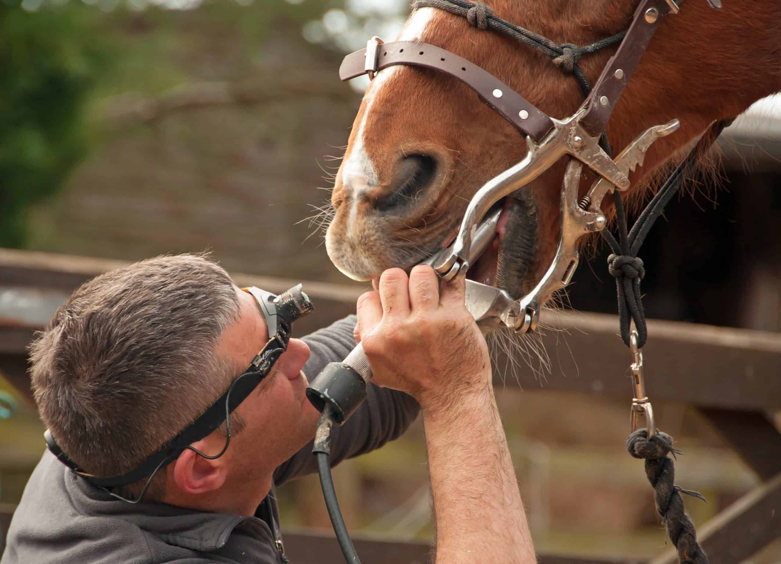 Dental treatment from an equine professional