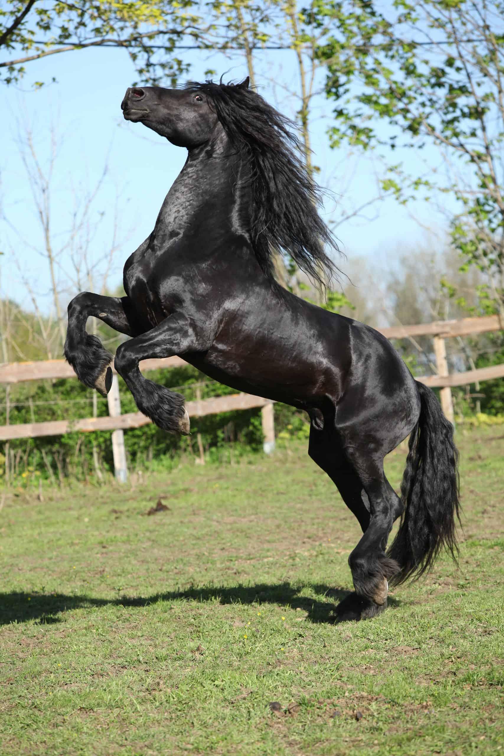 Friesian stallion prancing on pasturage