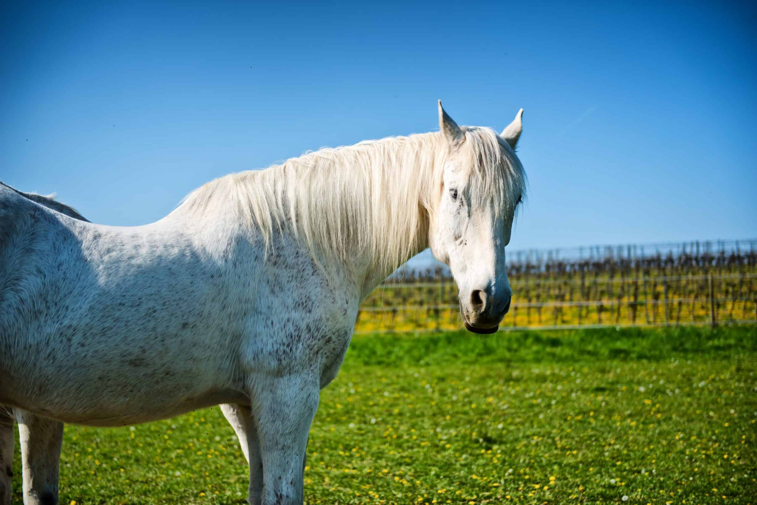 grey stallion interesting facts about horses