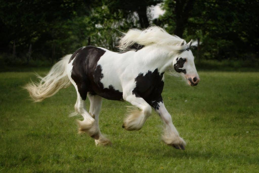 gypsy horse coat colors