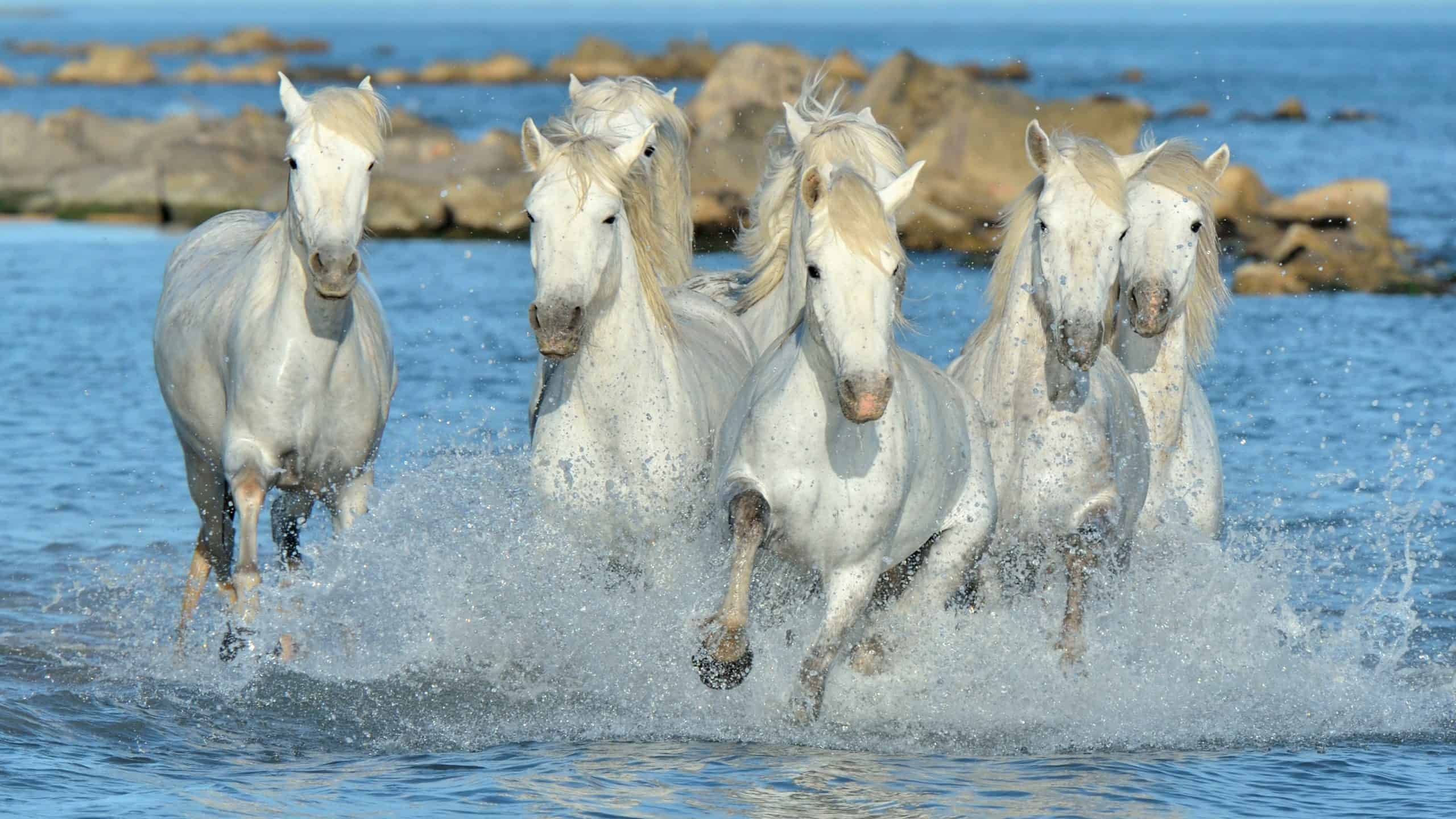 Herd of White Camargue Horses running on the water . Parc Regional de Camargue - Provence, France