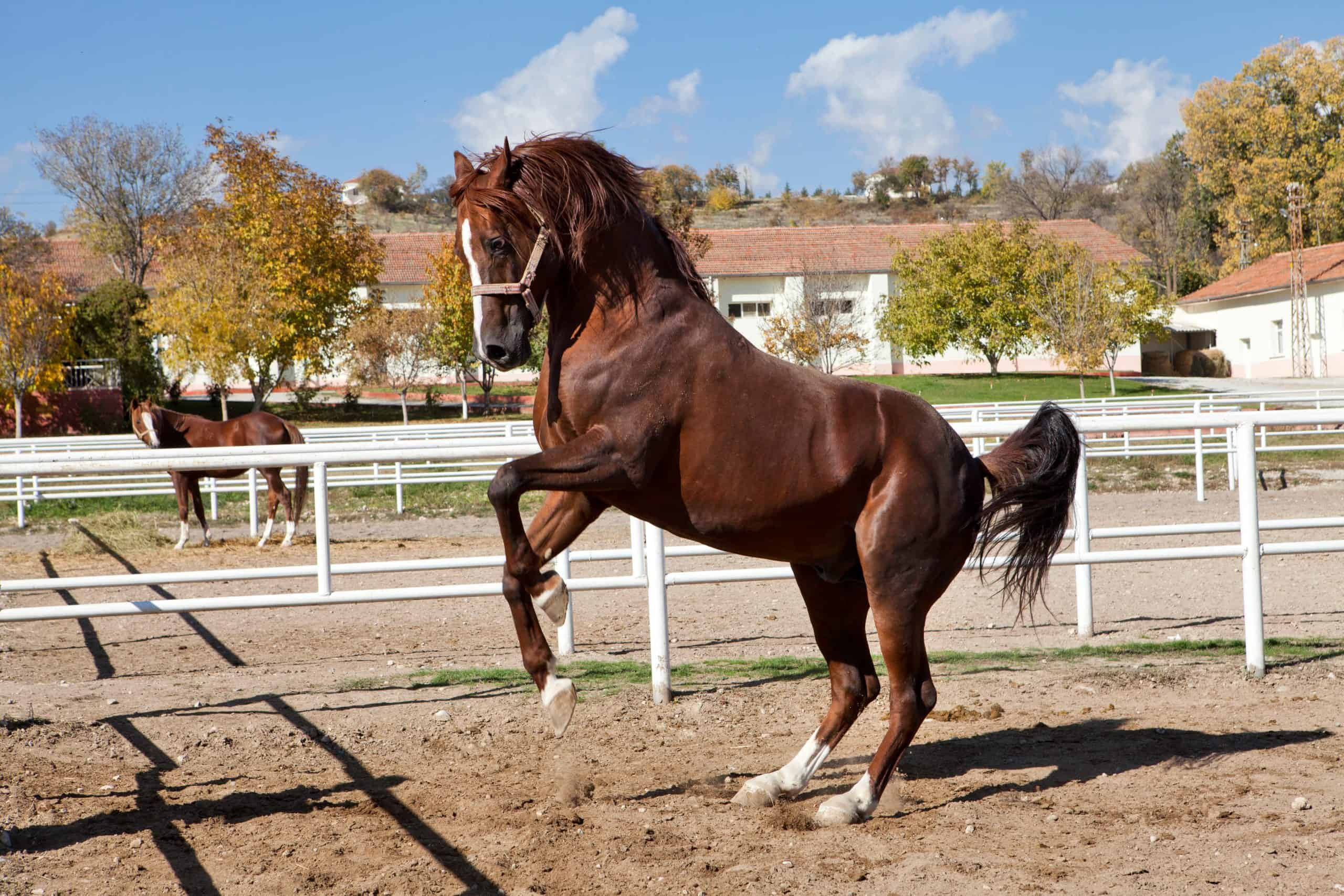 Horse rearing up