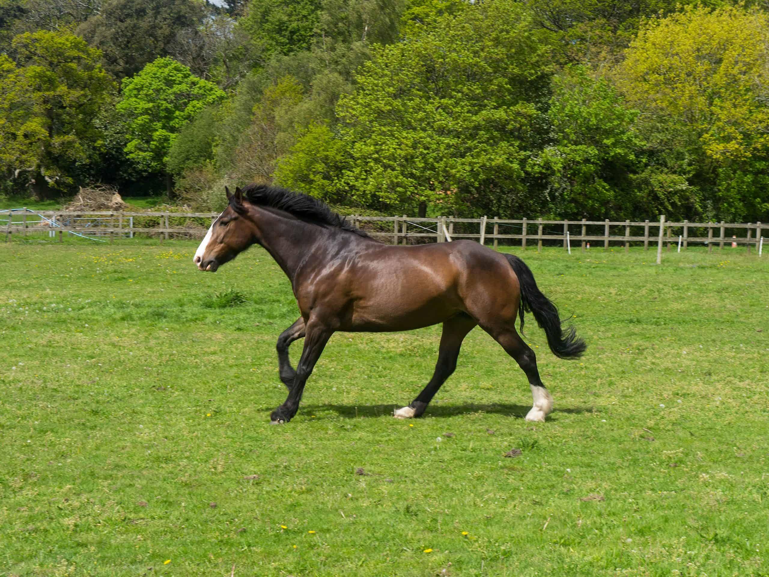 irish sport horse jumping breeds