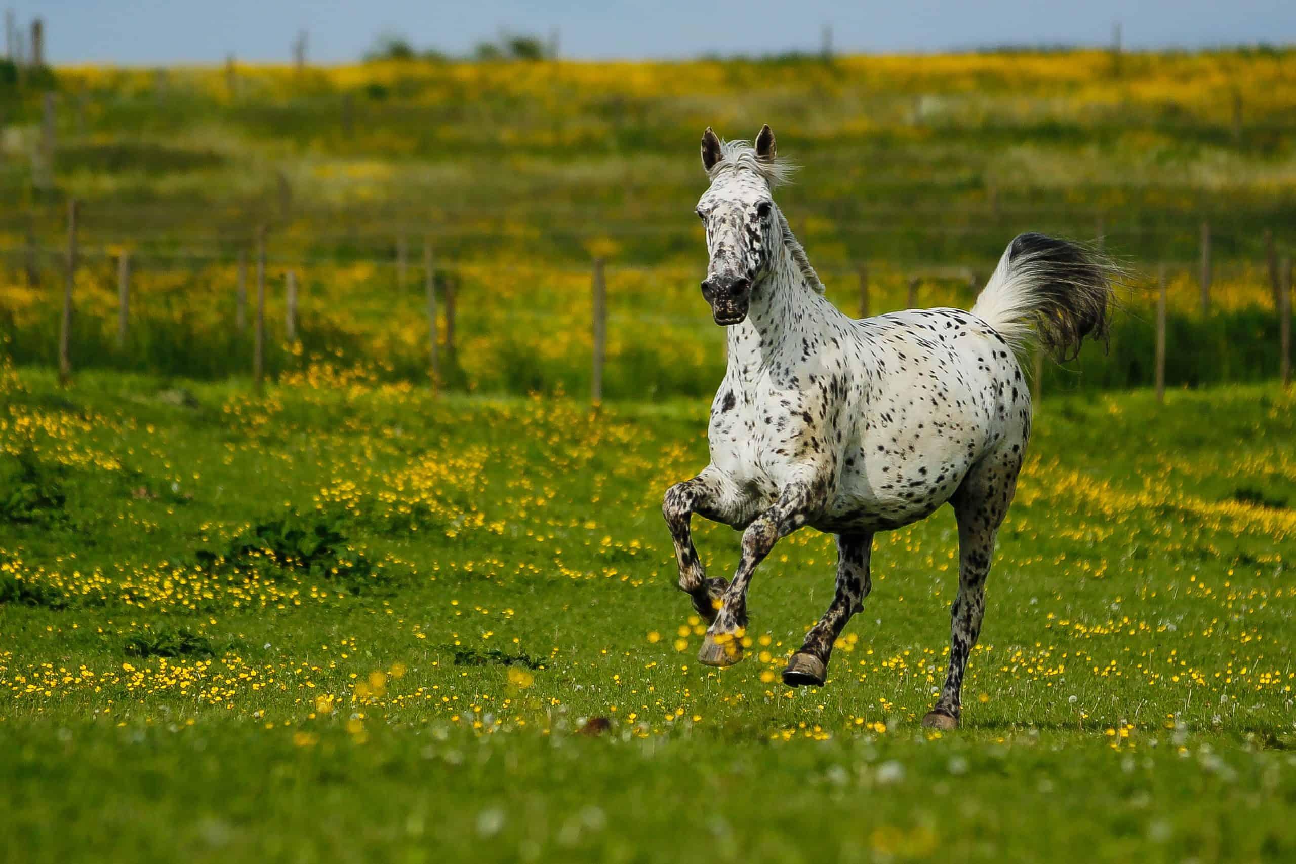 Knabstrupper im freiem Galopp - Horse