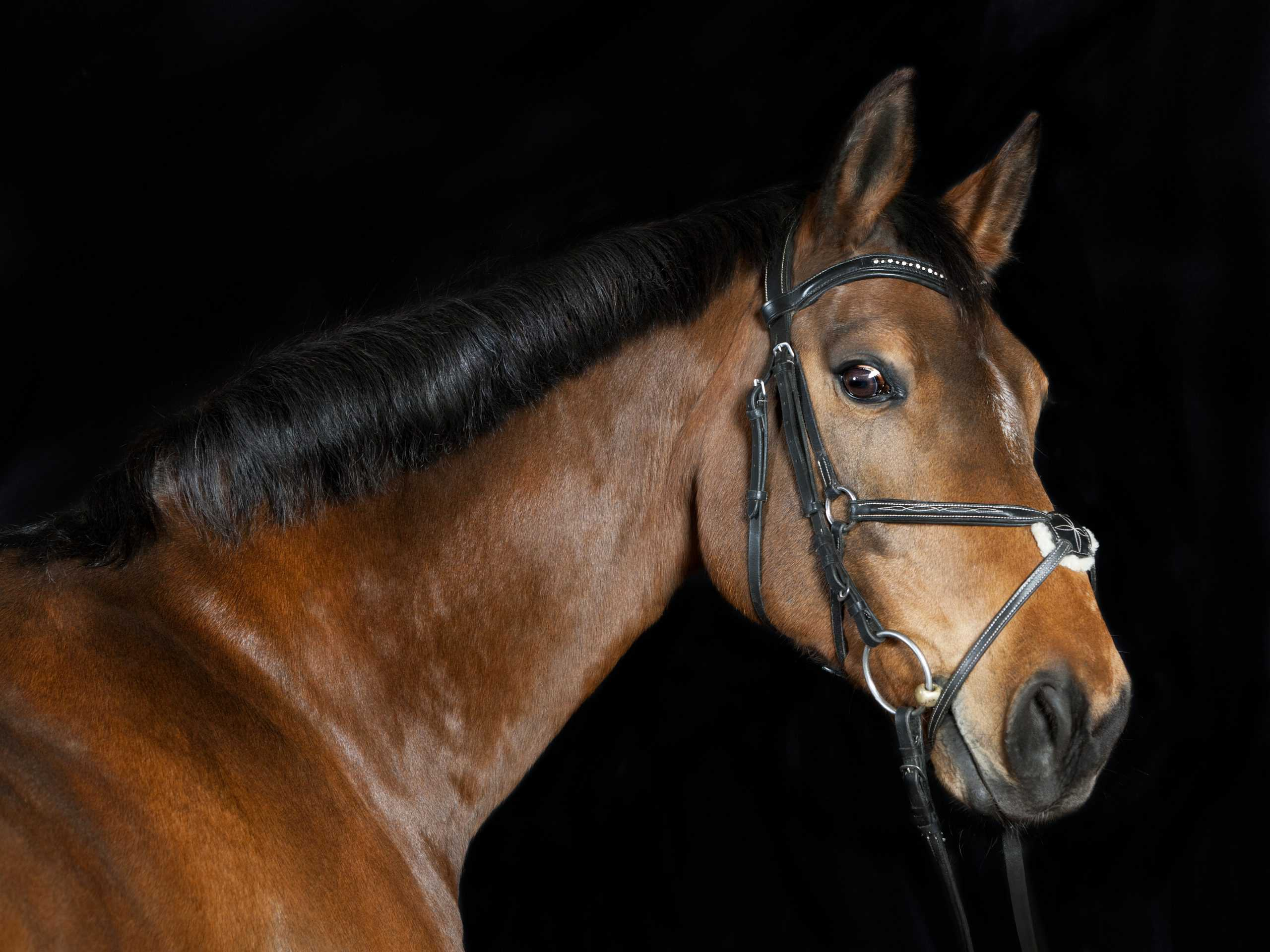 oldenburg best horse breeds for jumping