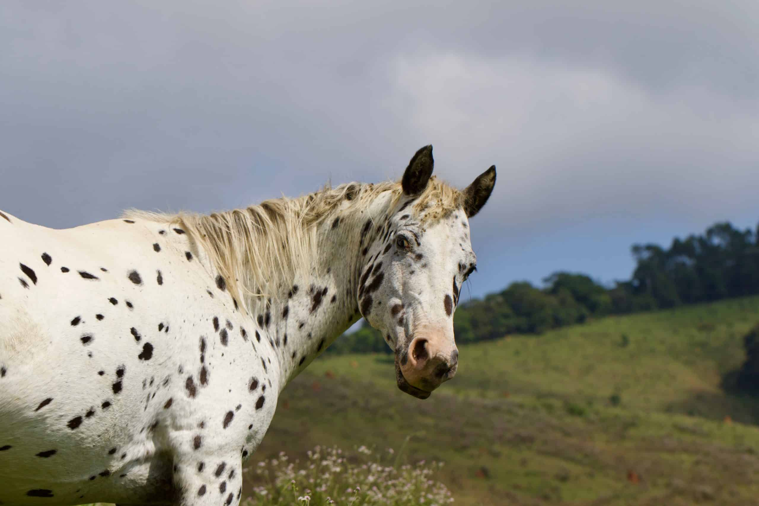 spotted horse breed