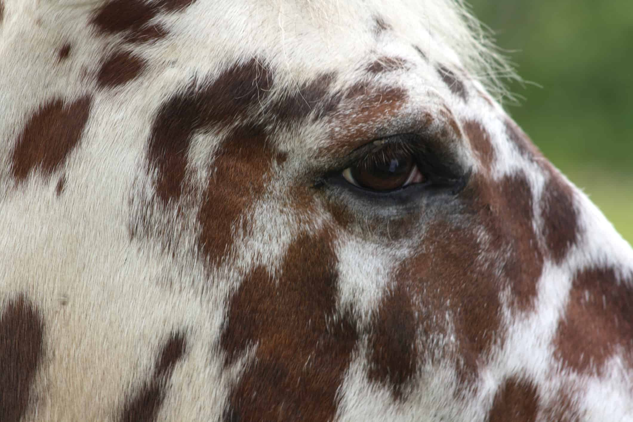 Tigered horse in close up