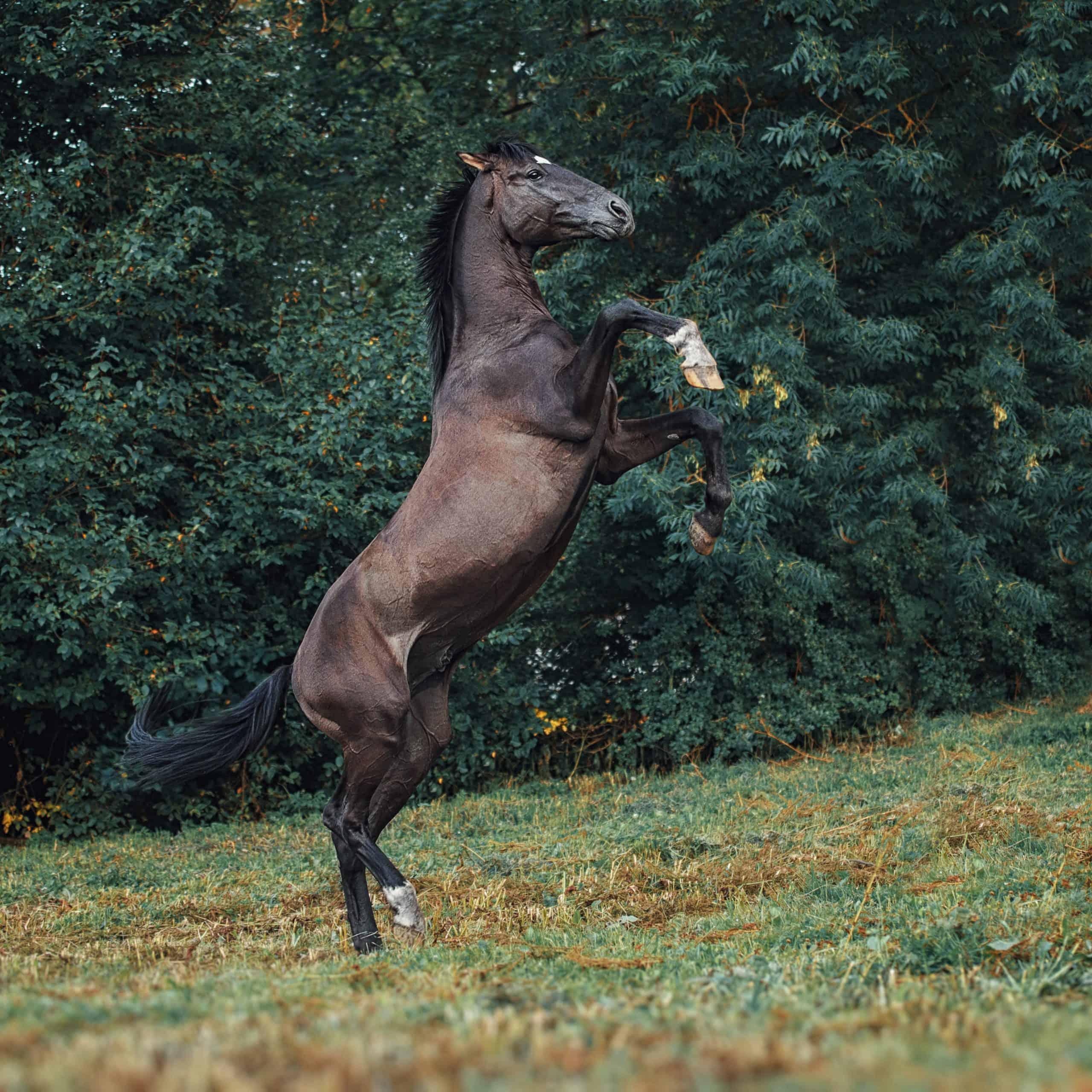 Trakehner stallion portrait