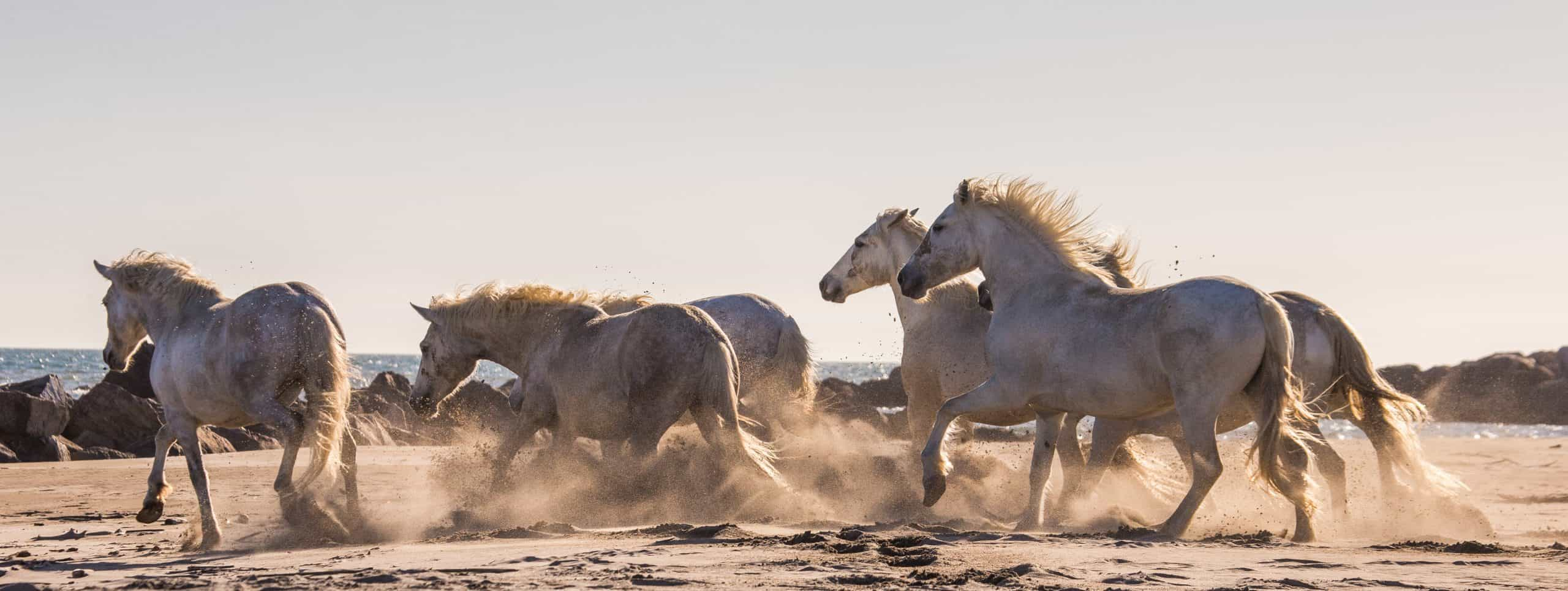 White Camargue Horses galloping on the sand. Parc Regional de Camargue. France. Provence. An excellent illustration