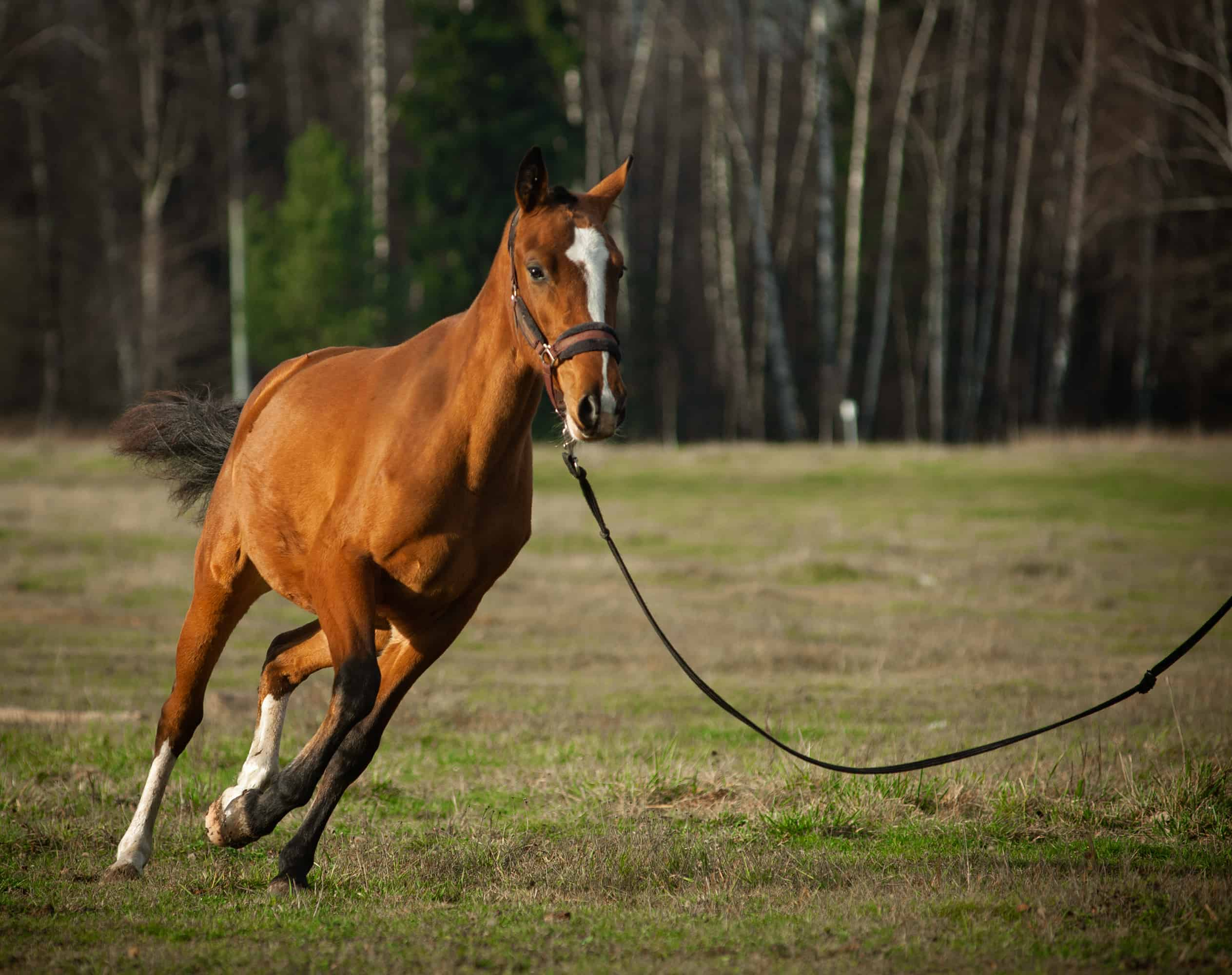 Young horse on a training in fields. Horse on the cord. Dressage horse running