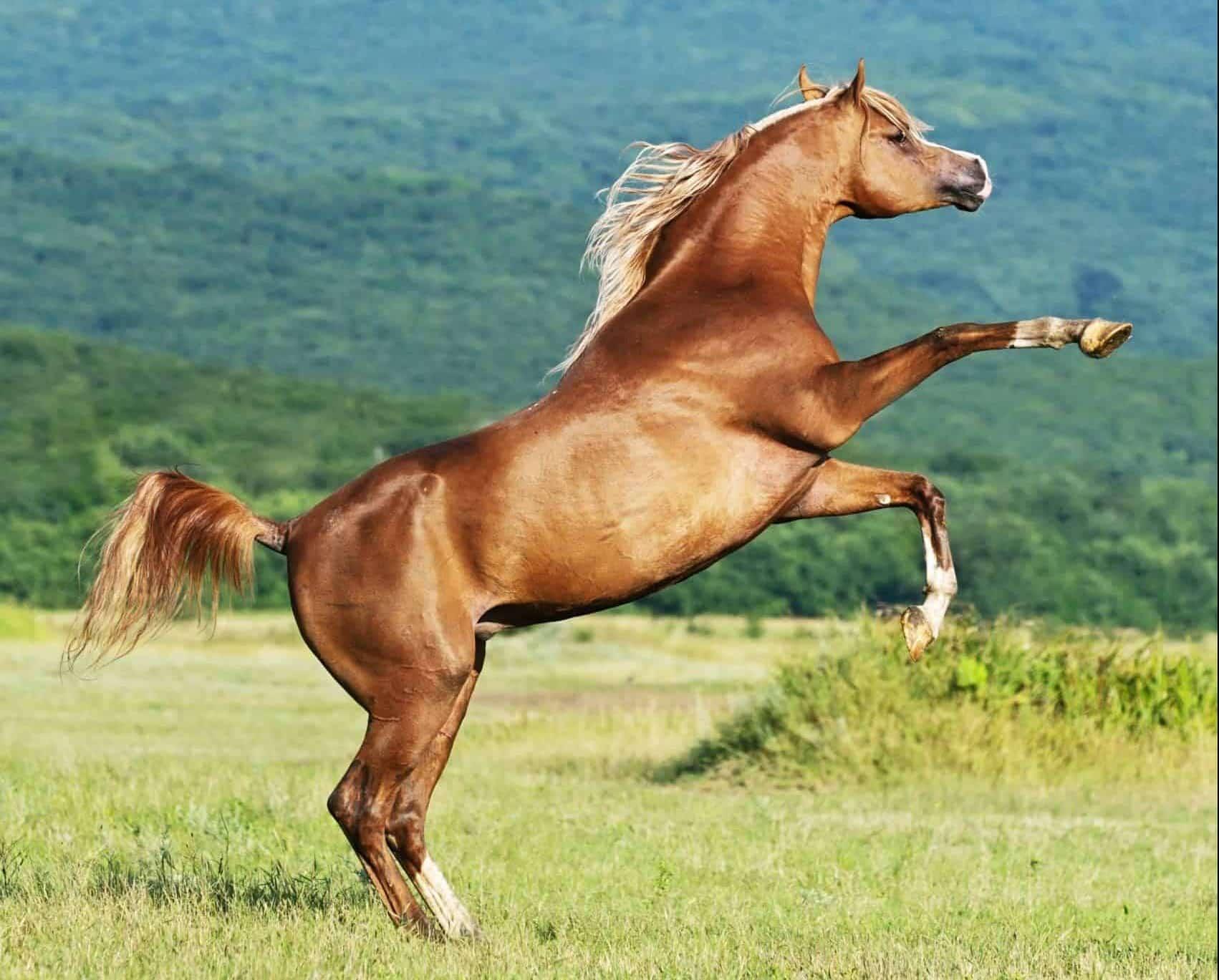 arabian equine