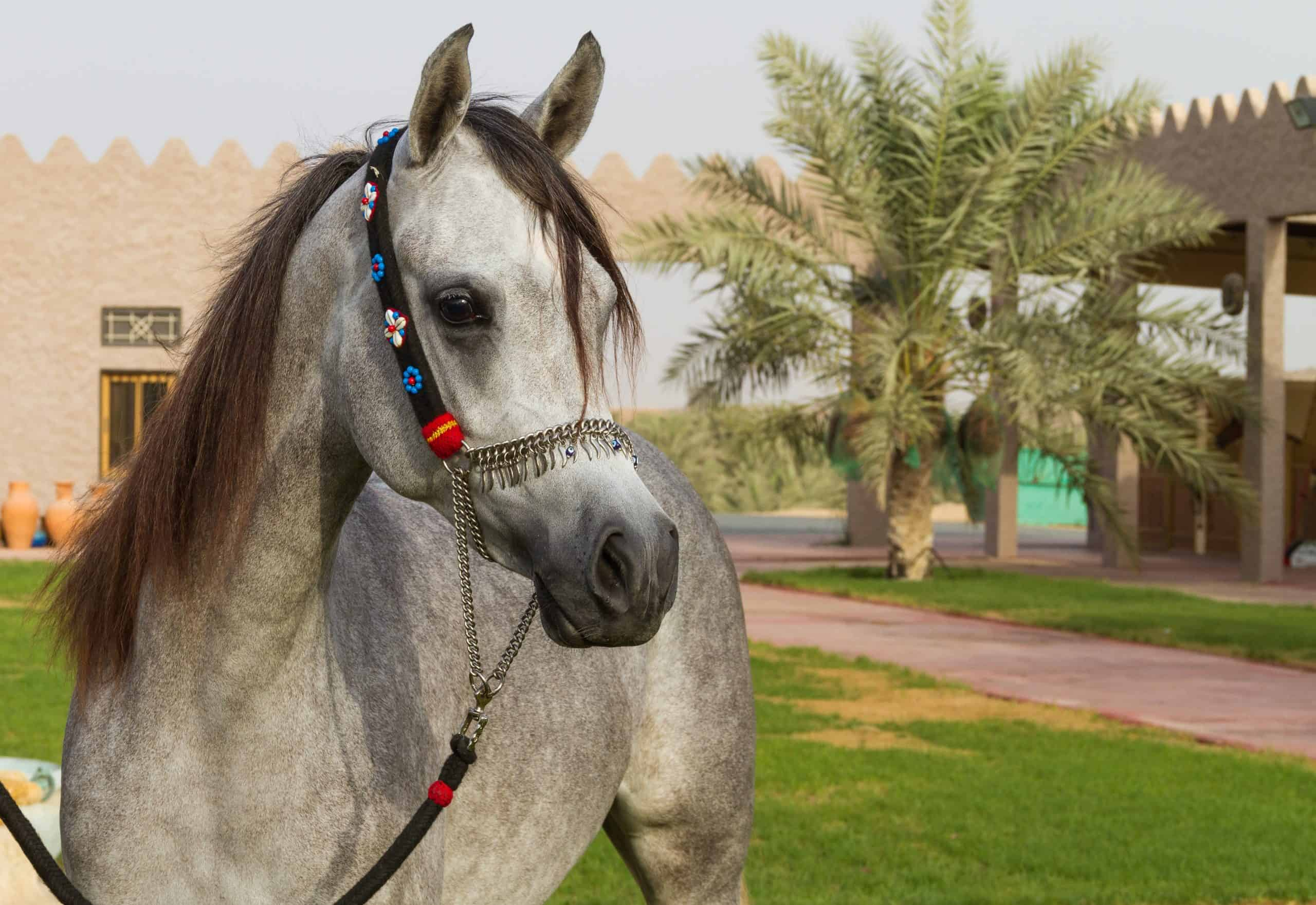 beautiful arabian horsebeautiful arabian horse