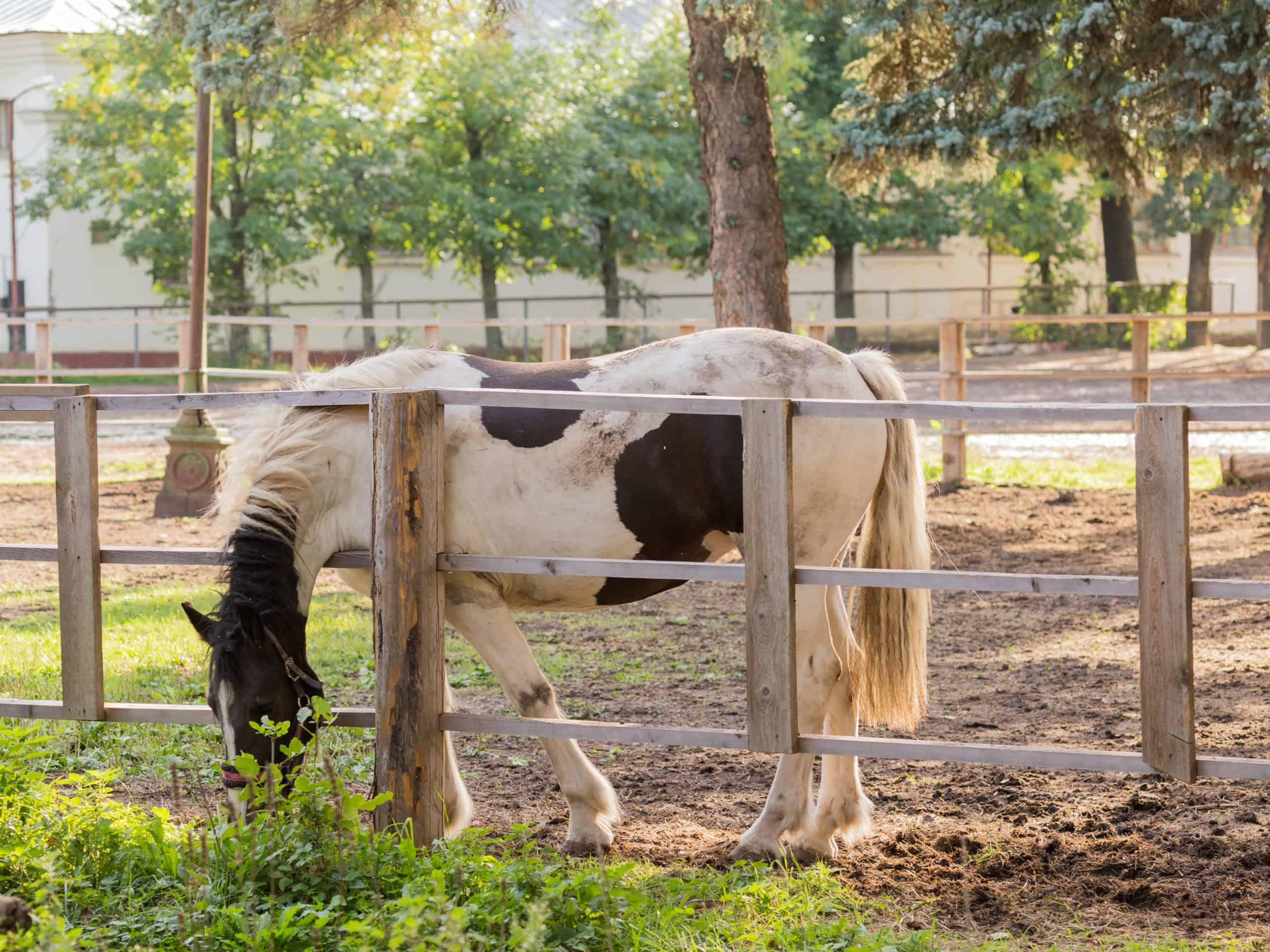 White horse with brown spots is eating green grass near a wooden fence and sunlight in the morning.