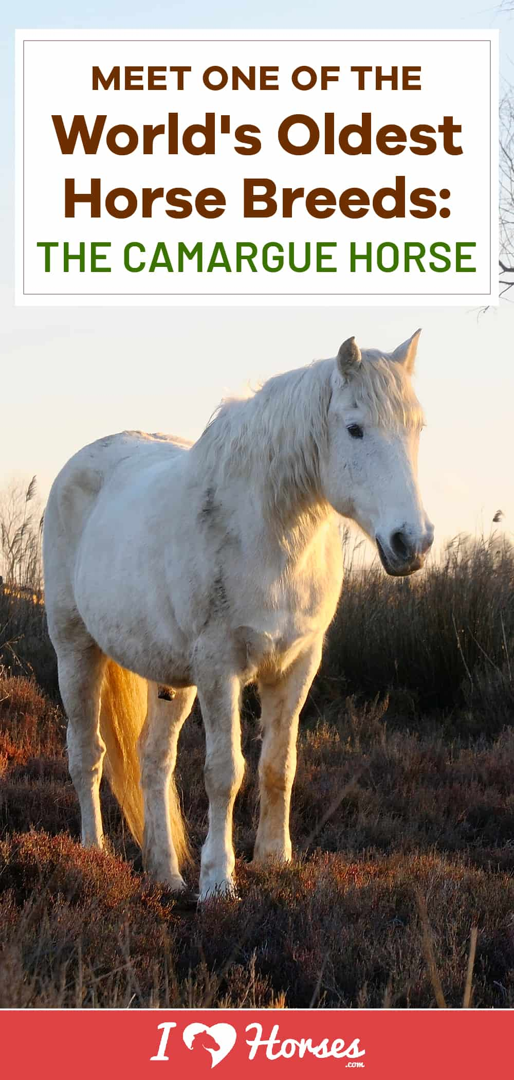 Meet The Camargue Horse