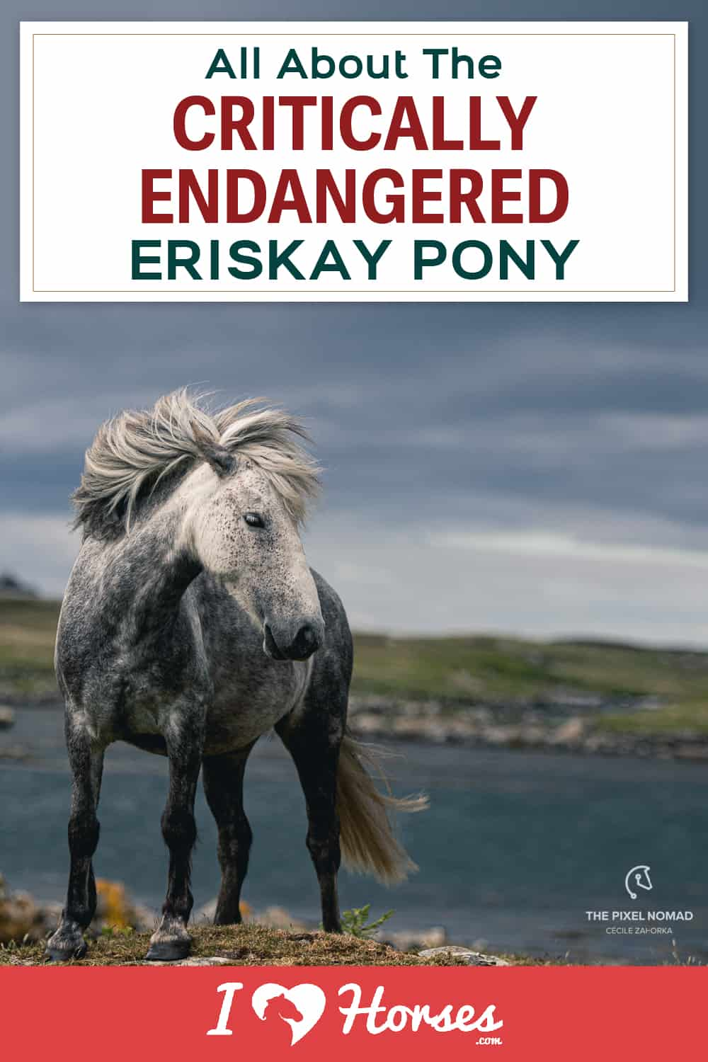 Meet The Critically Endangered Eriskay Pony