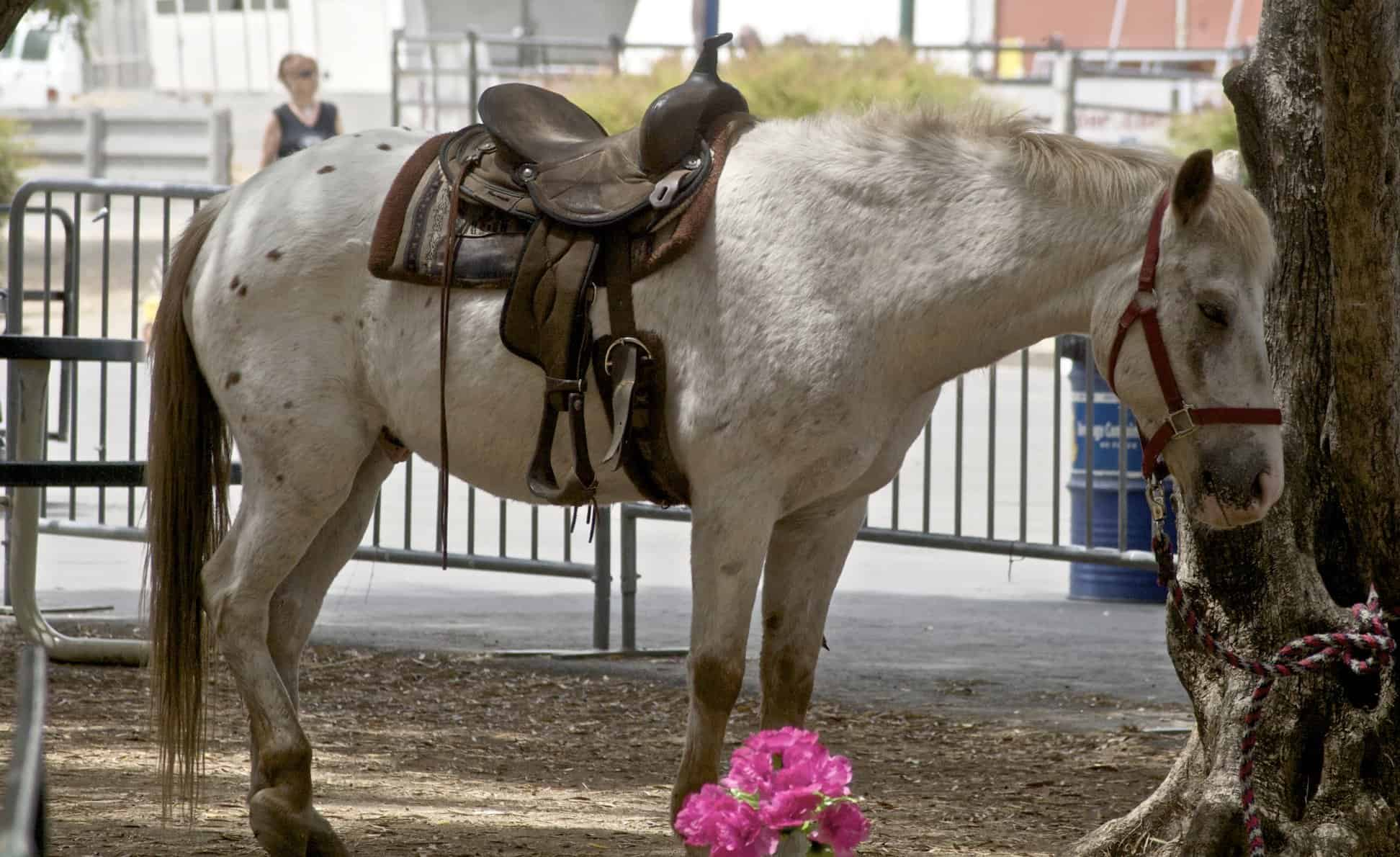 pony of the americas spotted horse breed
