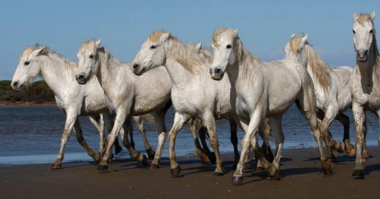 old horse breed