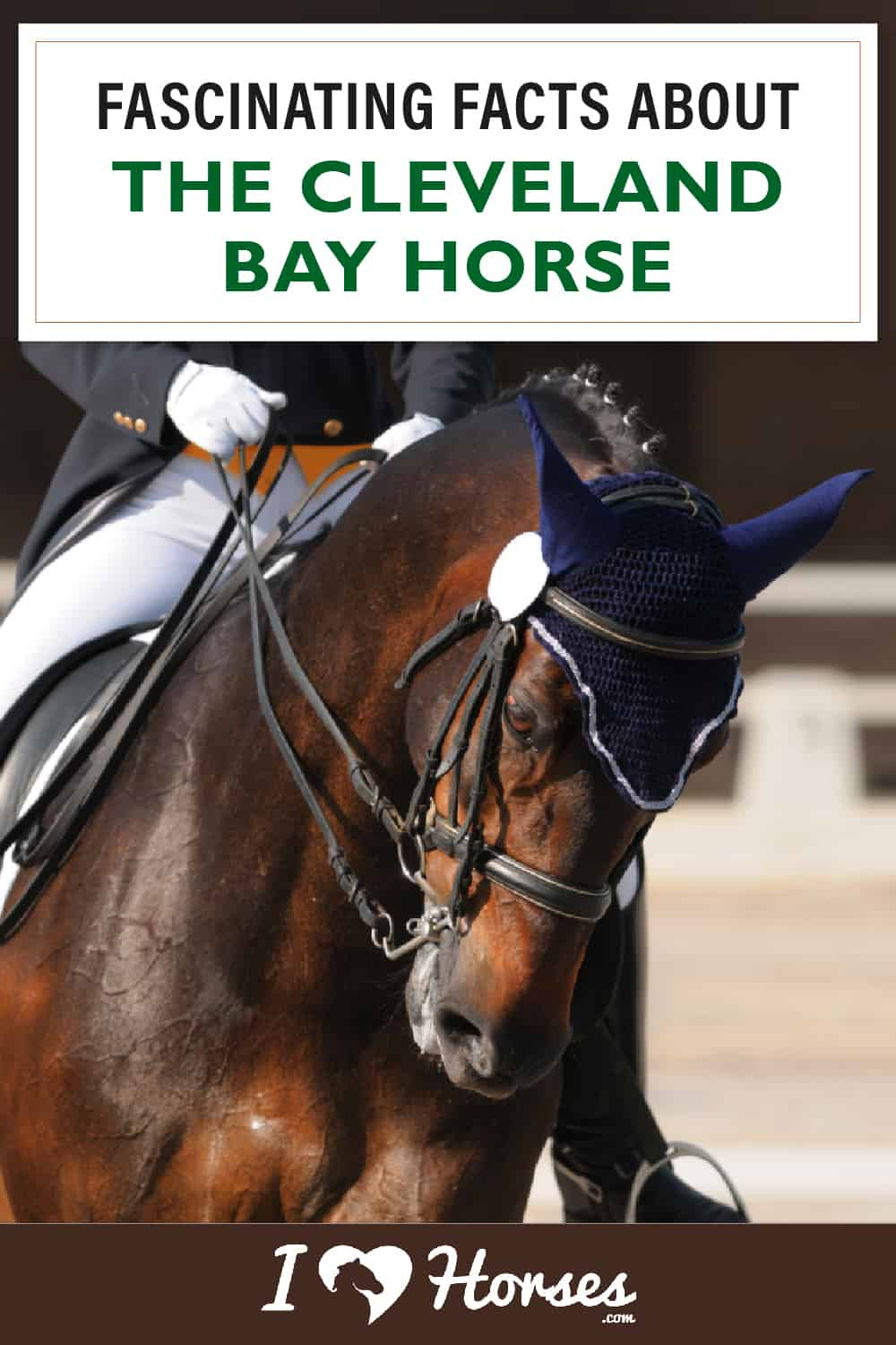 All About The Cleveland Bay Horse-02
