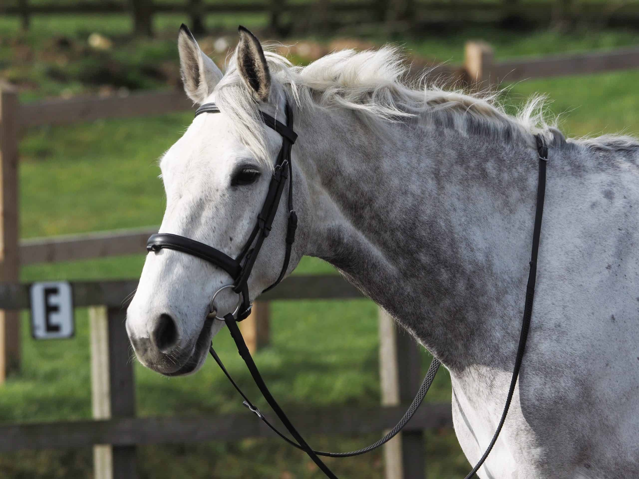 A head shot of a grey horse in a snaffle bridle.