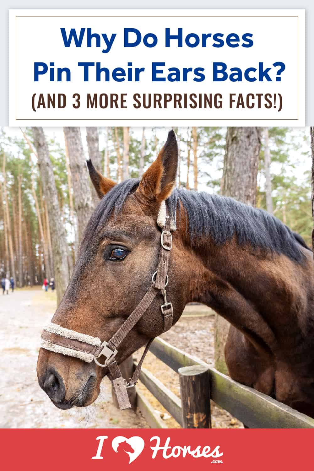 How To Read Your Horse's Ears