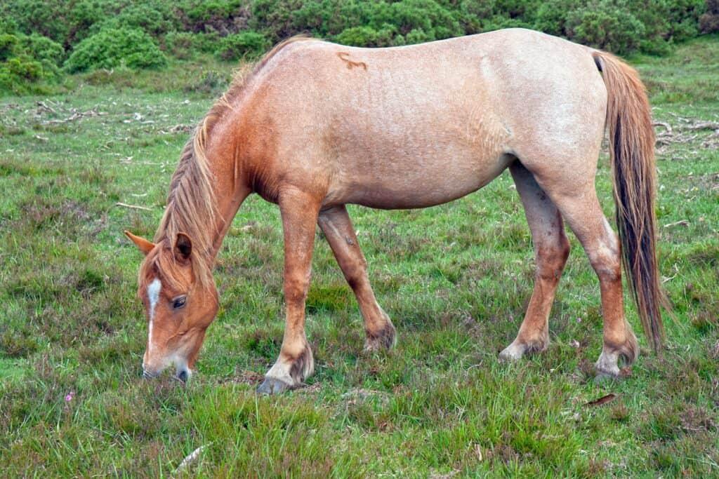 roan horse pattern