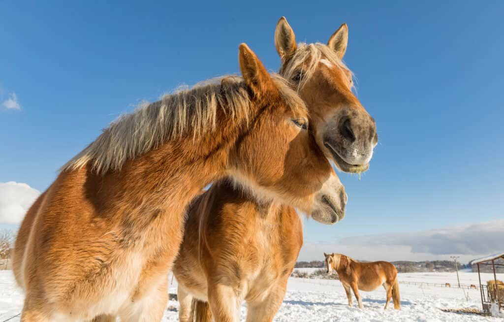 can horses experience love?