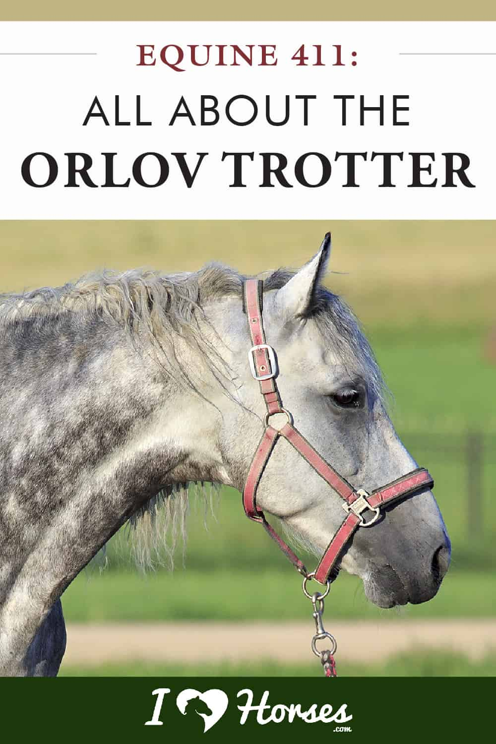 Equine 411 All About The Orlov Trotter