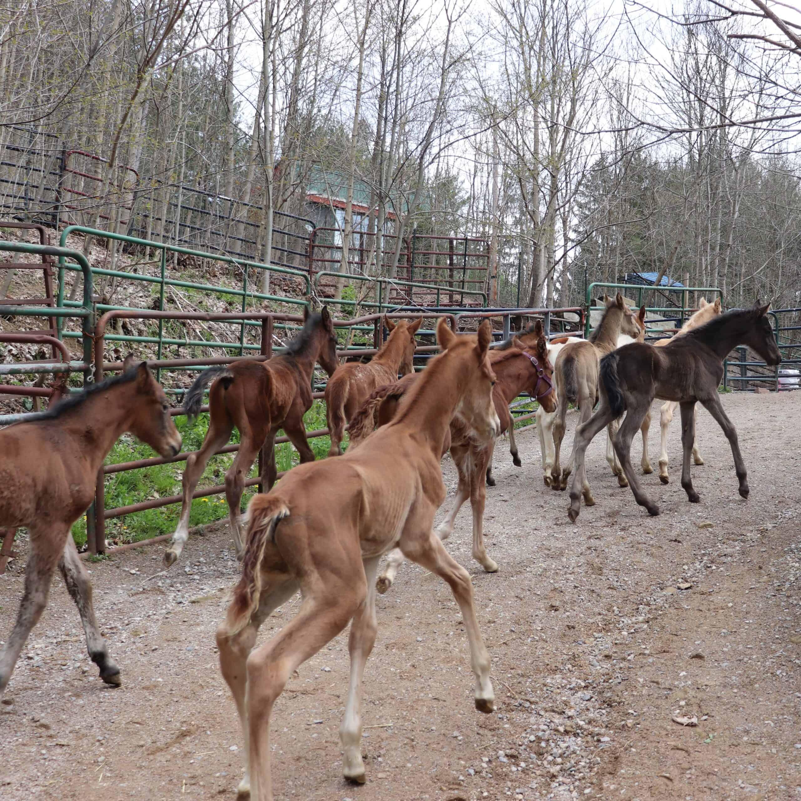 nurse mare foals