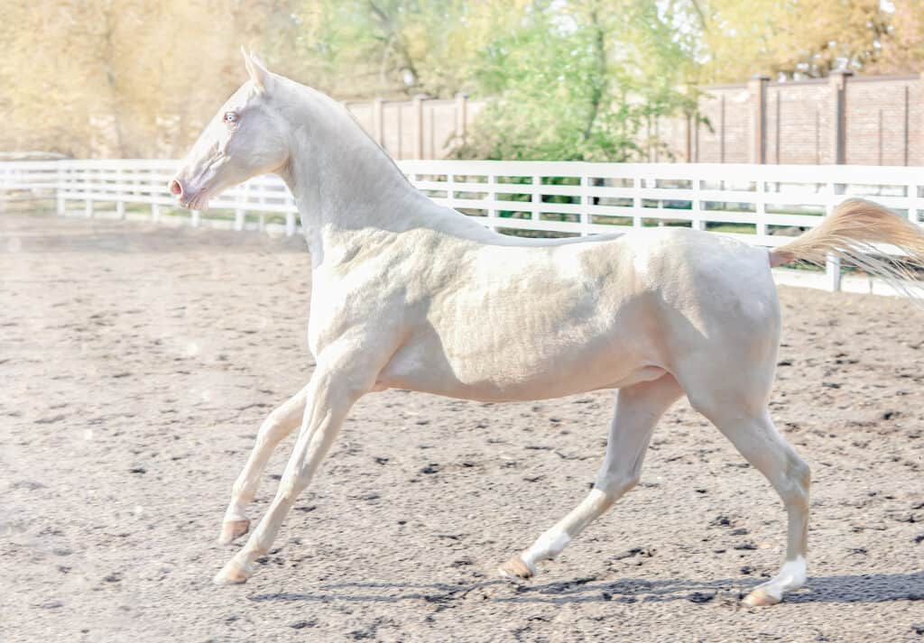 why do some horses have roached manes?