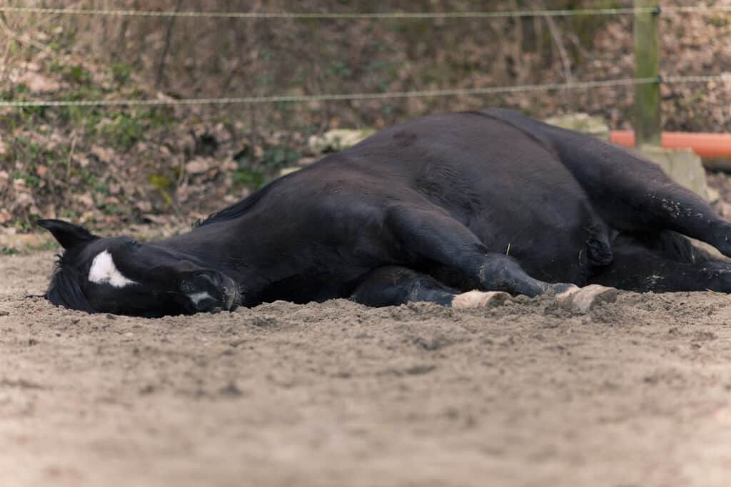 why horses lie down