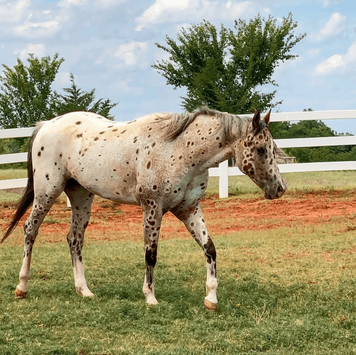 Tattoo the Appaloosa