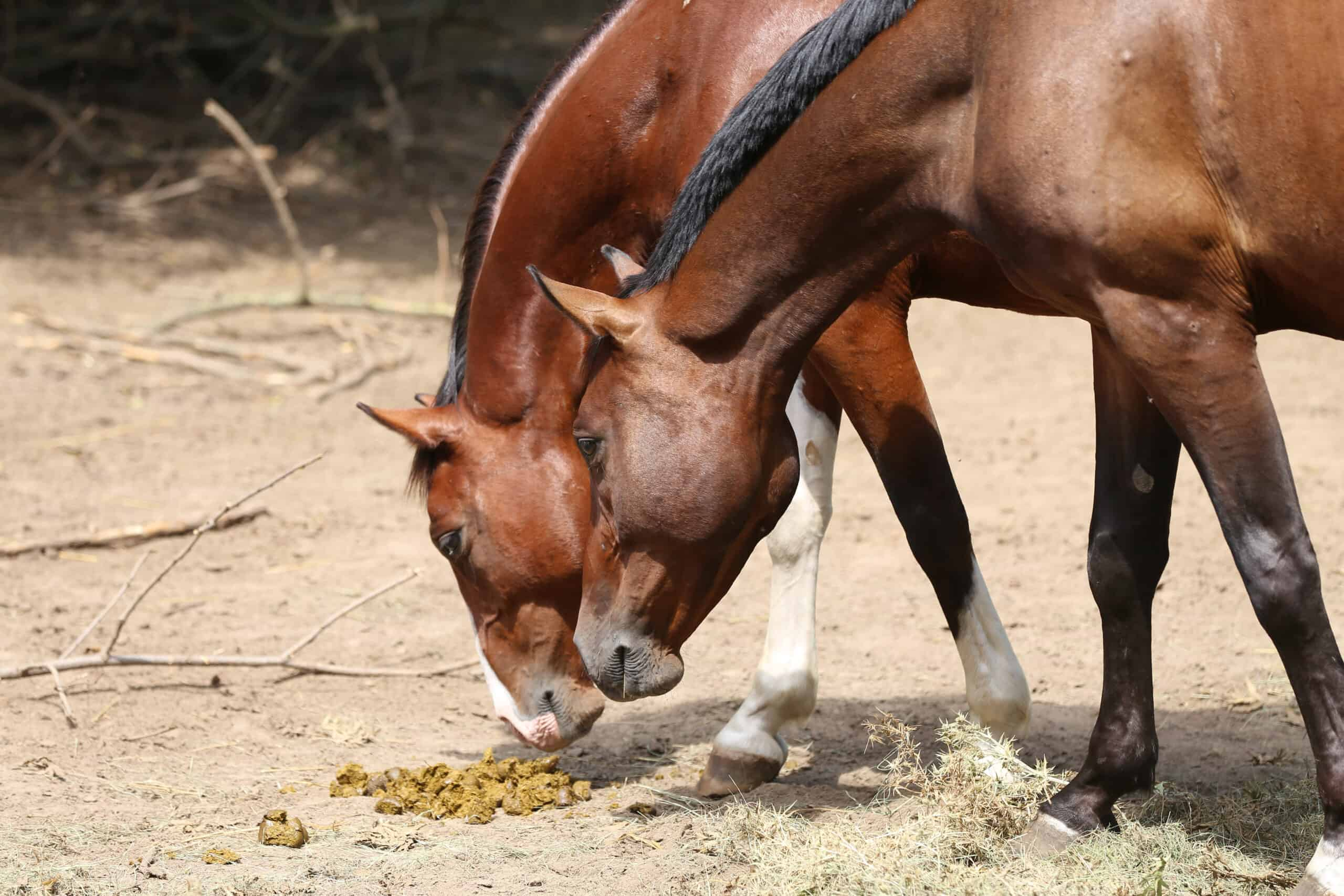 why do horses eat feces?