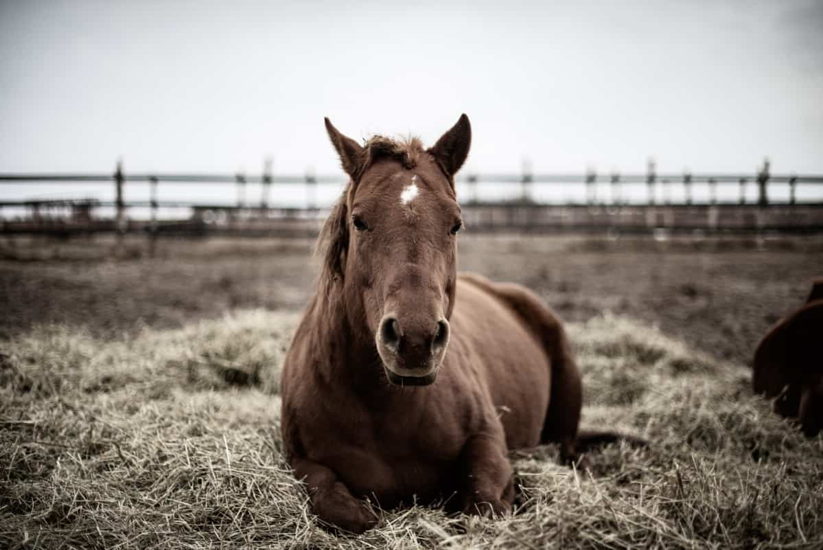 Calm horse laying in hay.