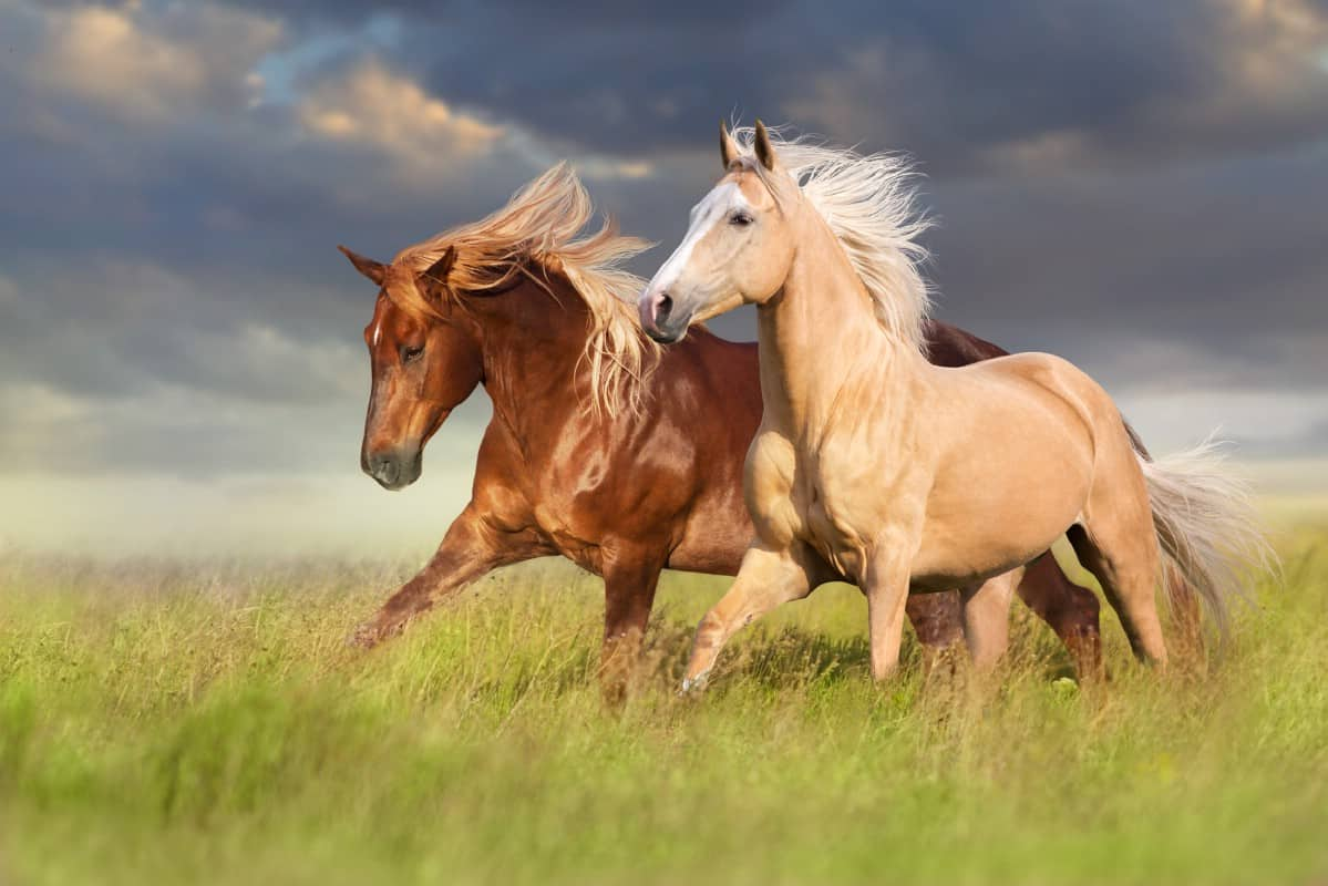 Two beautiful horses in a green field.