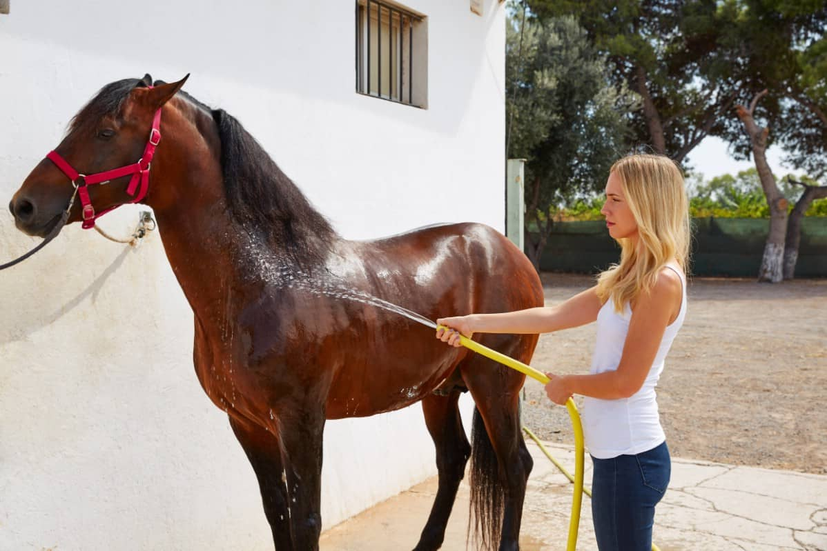 Cleaning a horse with water.