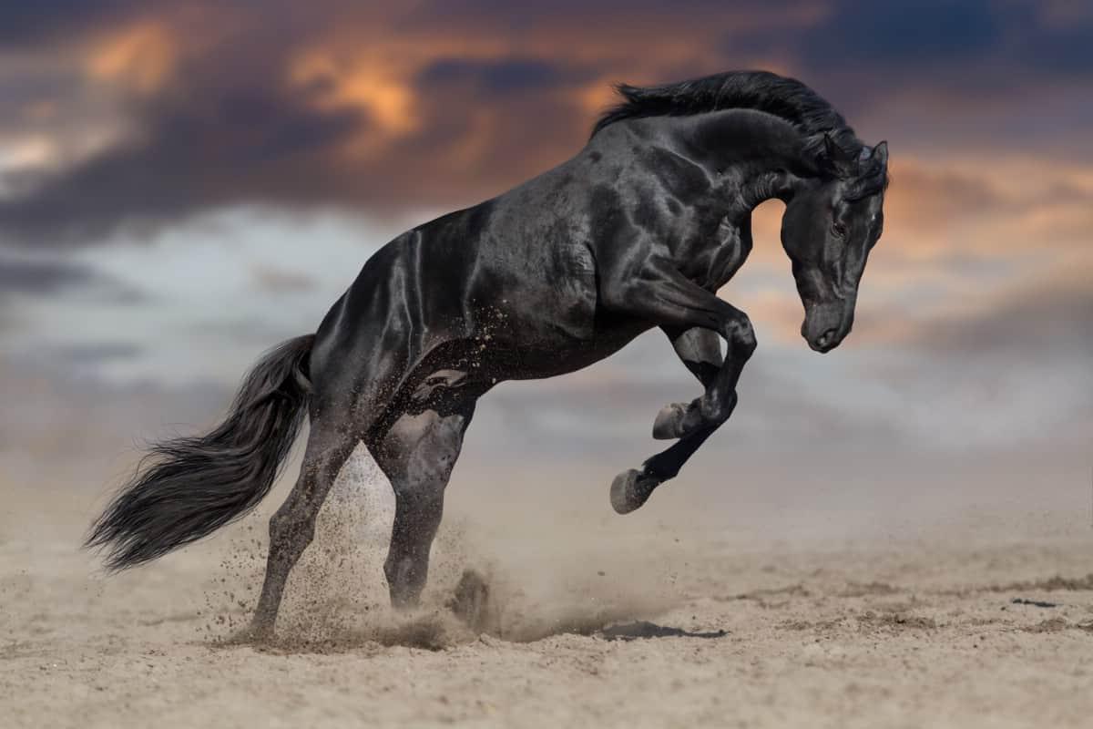 Black stallion.