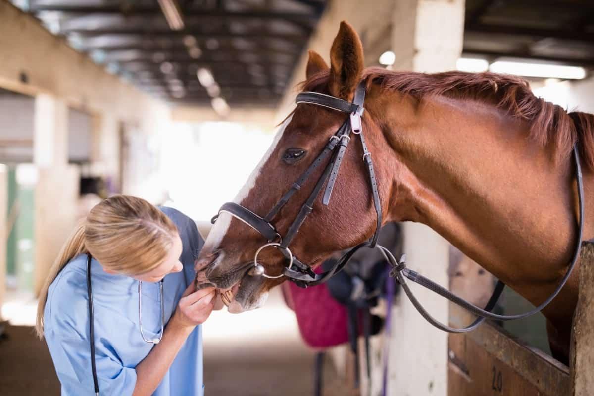 Vet inspecting the horse.