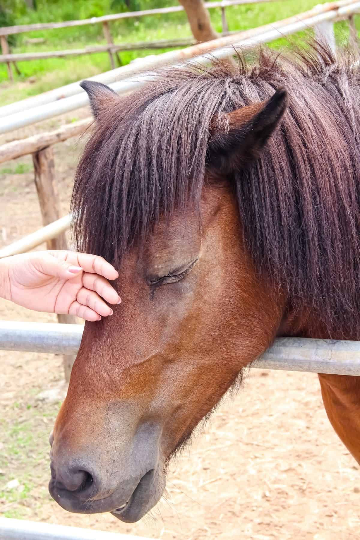 Petting horse nose