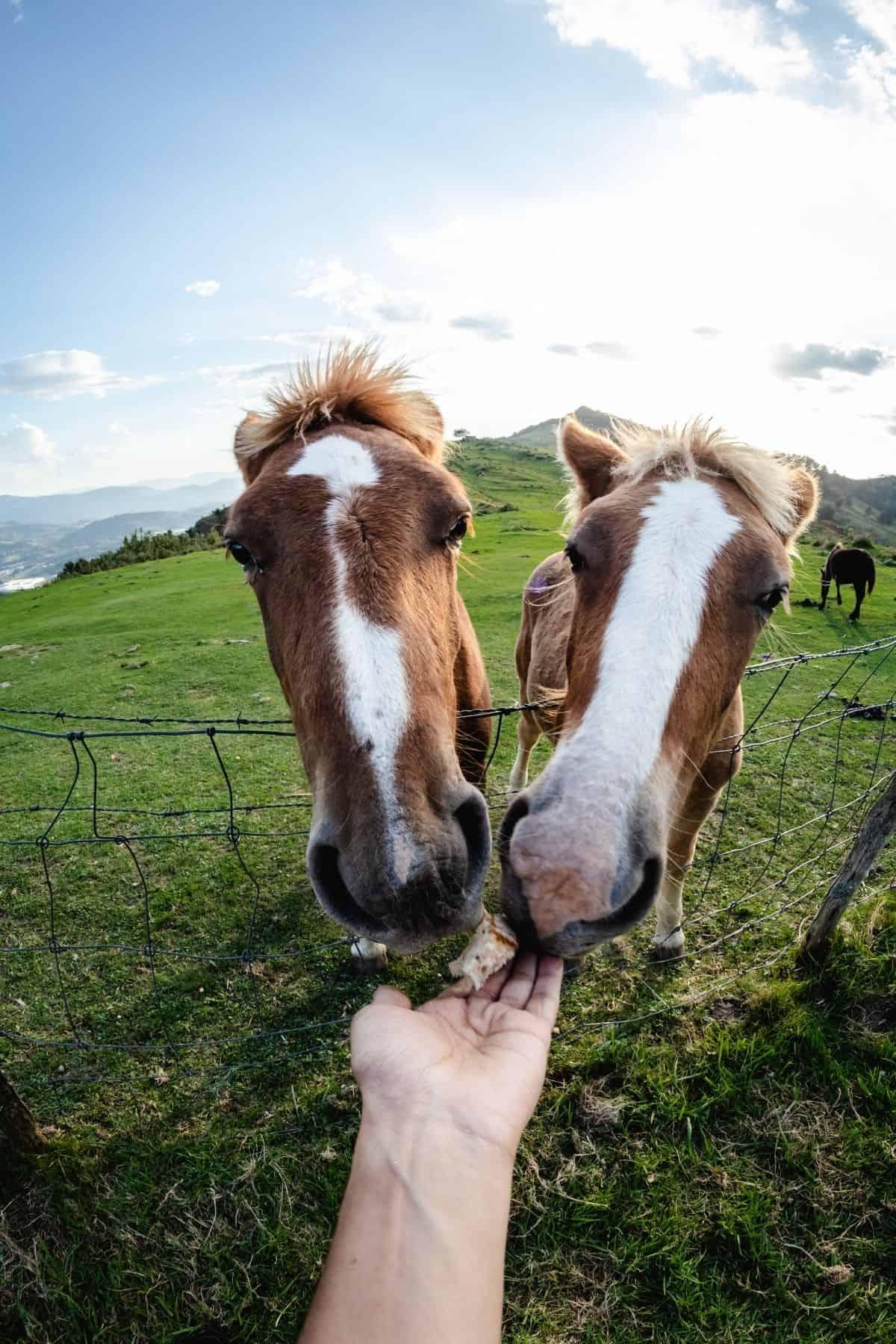 Two horses feeding