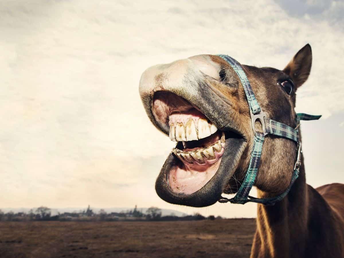 Horse showing teeth