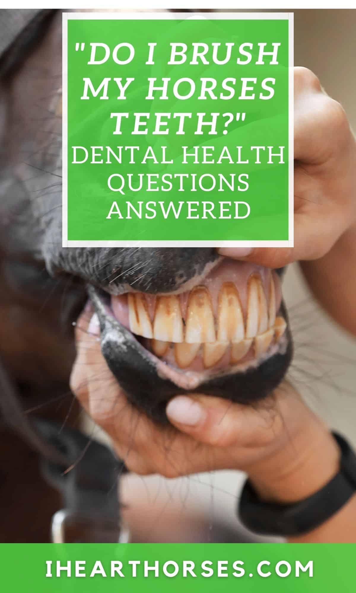 Examining horse teeth