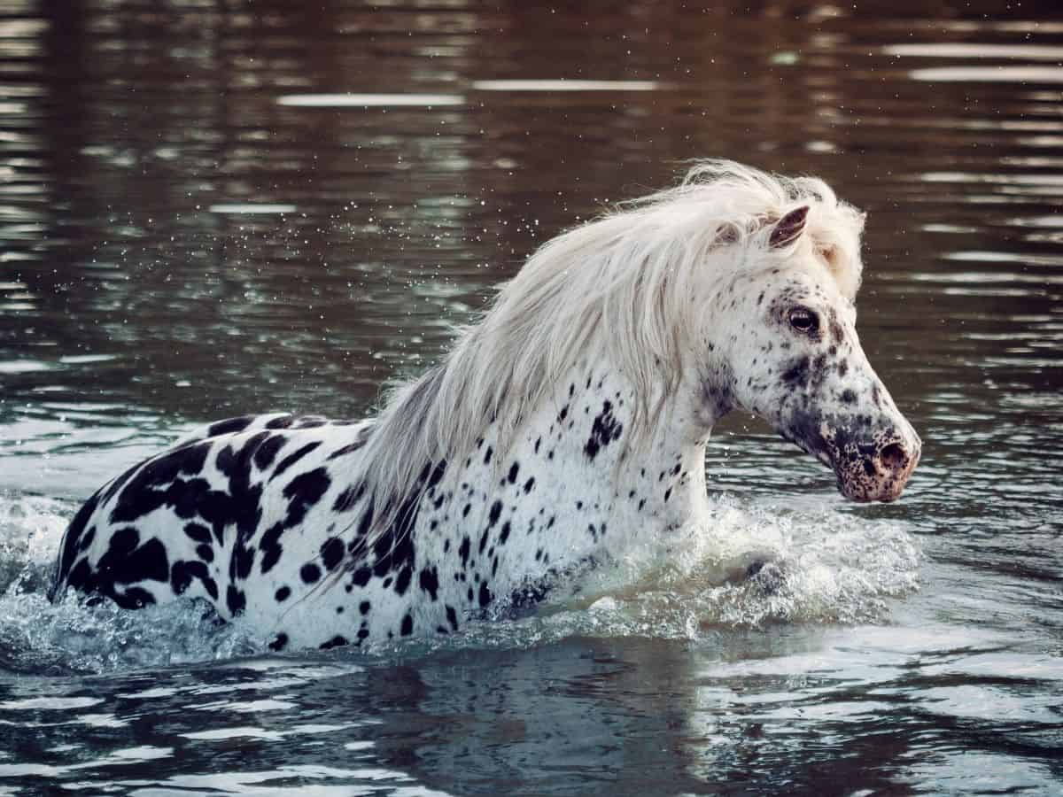 Spotted horse in water