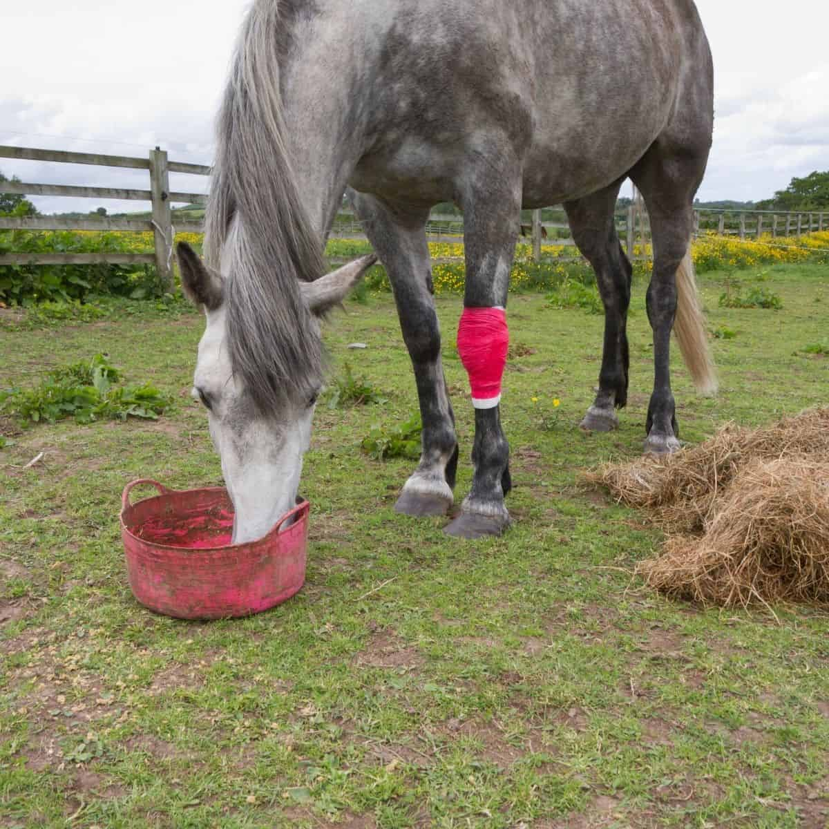 Grey horse with red leg wrap eating from bucket