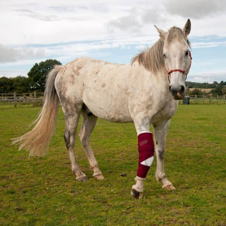 White horse in field with bandage on knee