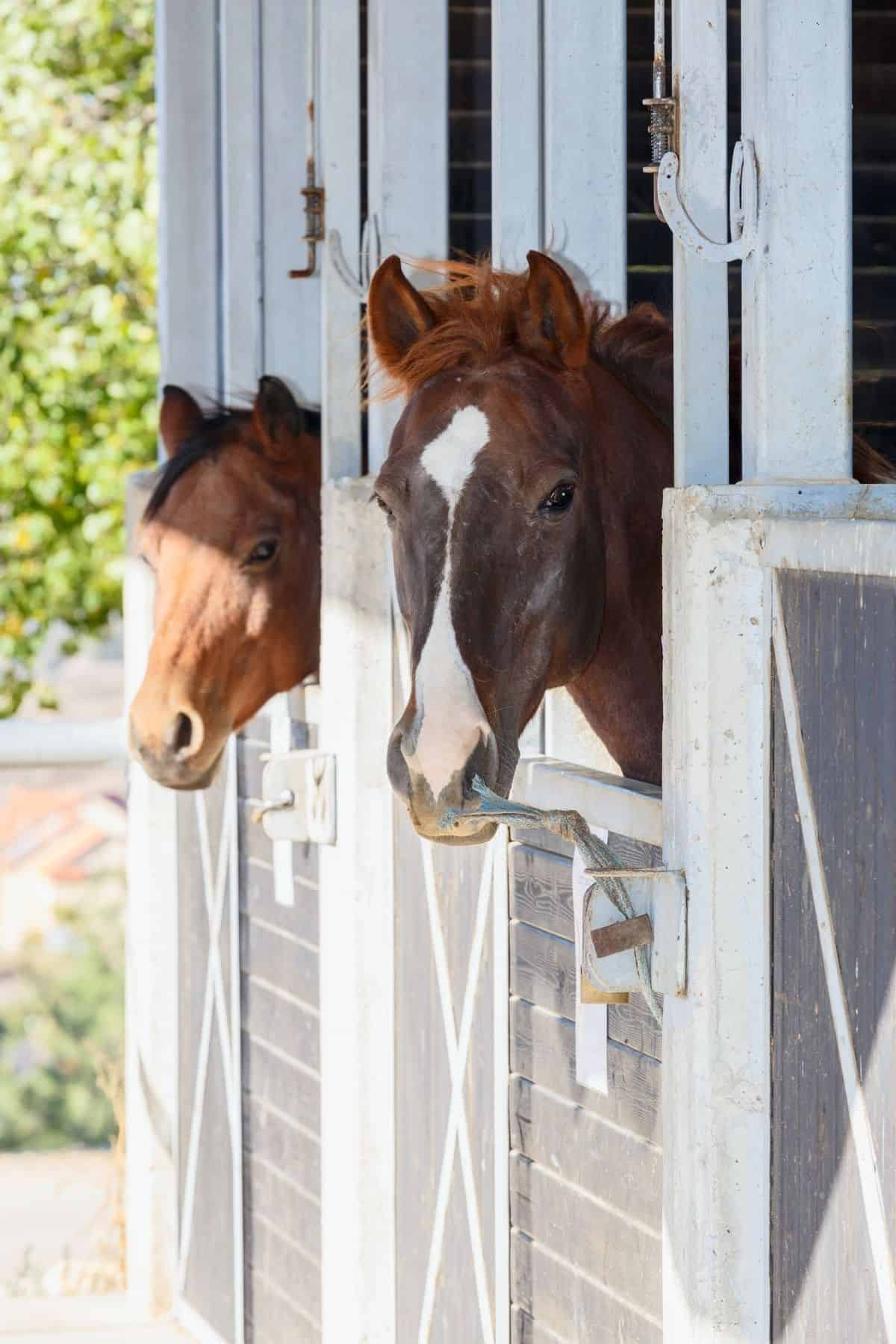 Two horses with heads out stall doors