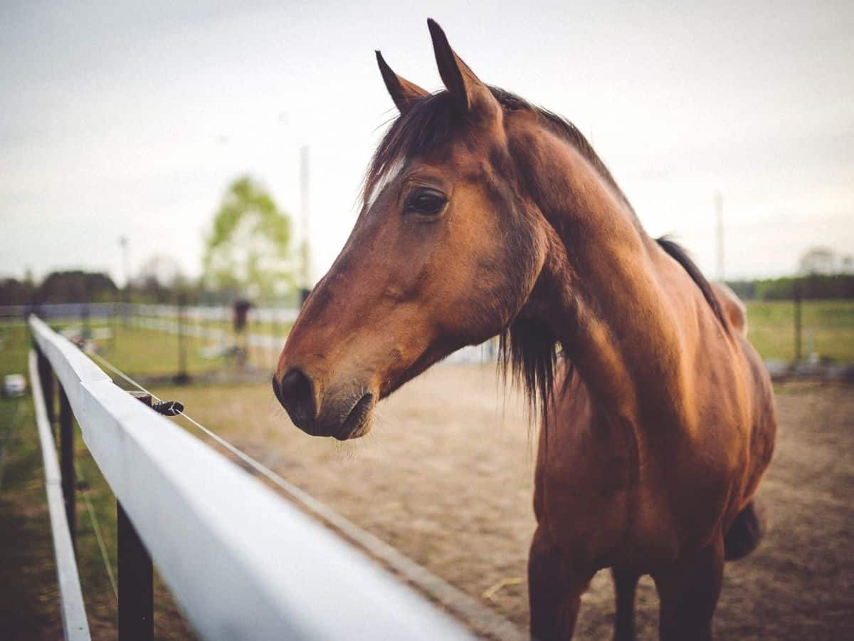 Horse by fence