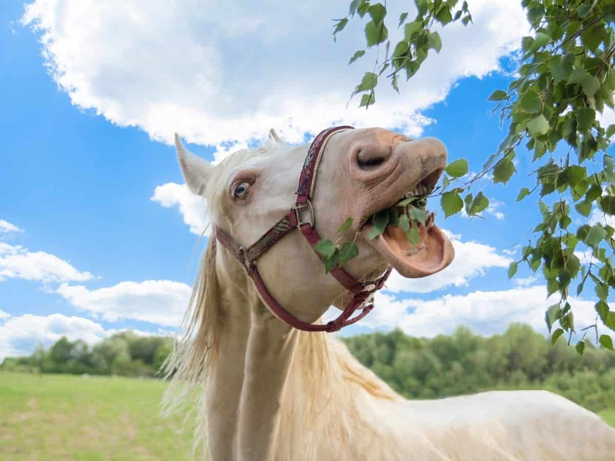 White horse eating from tree