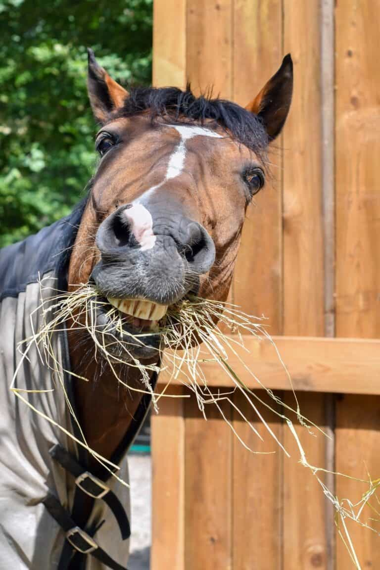 Brown horse eating hay